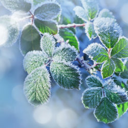 What to Do About Frost Damage