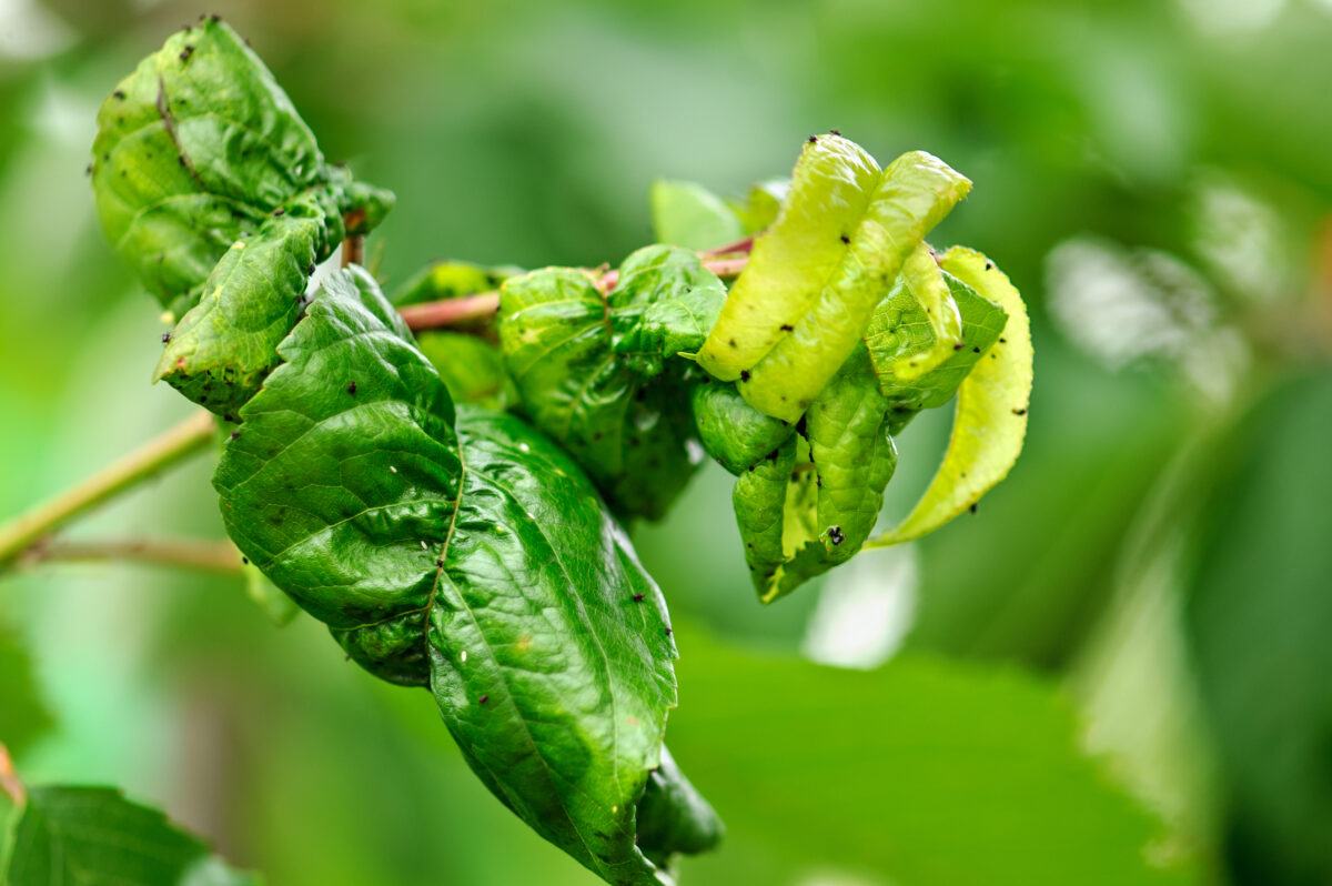 Fruit tree leaves are damaged by insects. The leaves were damaged with the help of ants, insect eggs, insect larvae and other pests of plants.  Dry, twisted leaves.