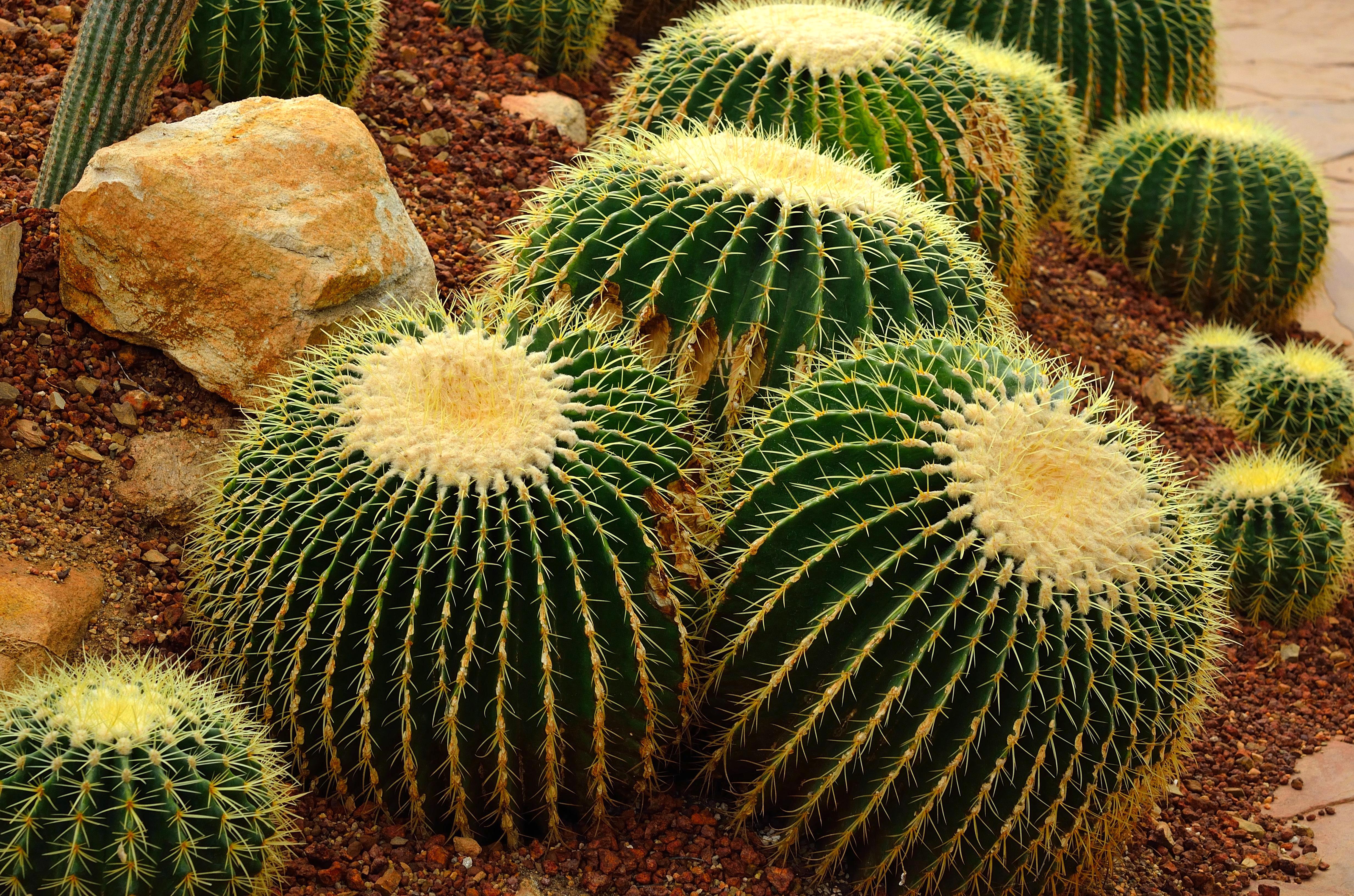 Golden barrel cactus or Echinocactus grusonii