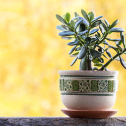 What to Know about Growing Jade Plants