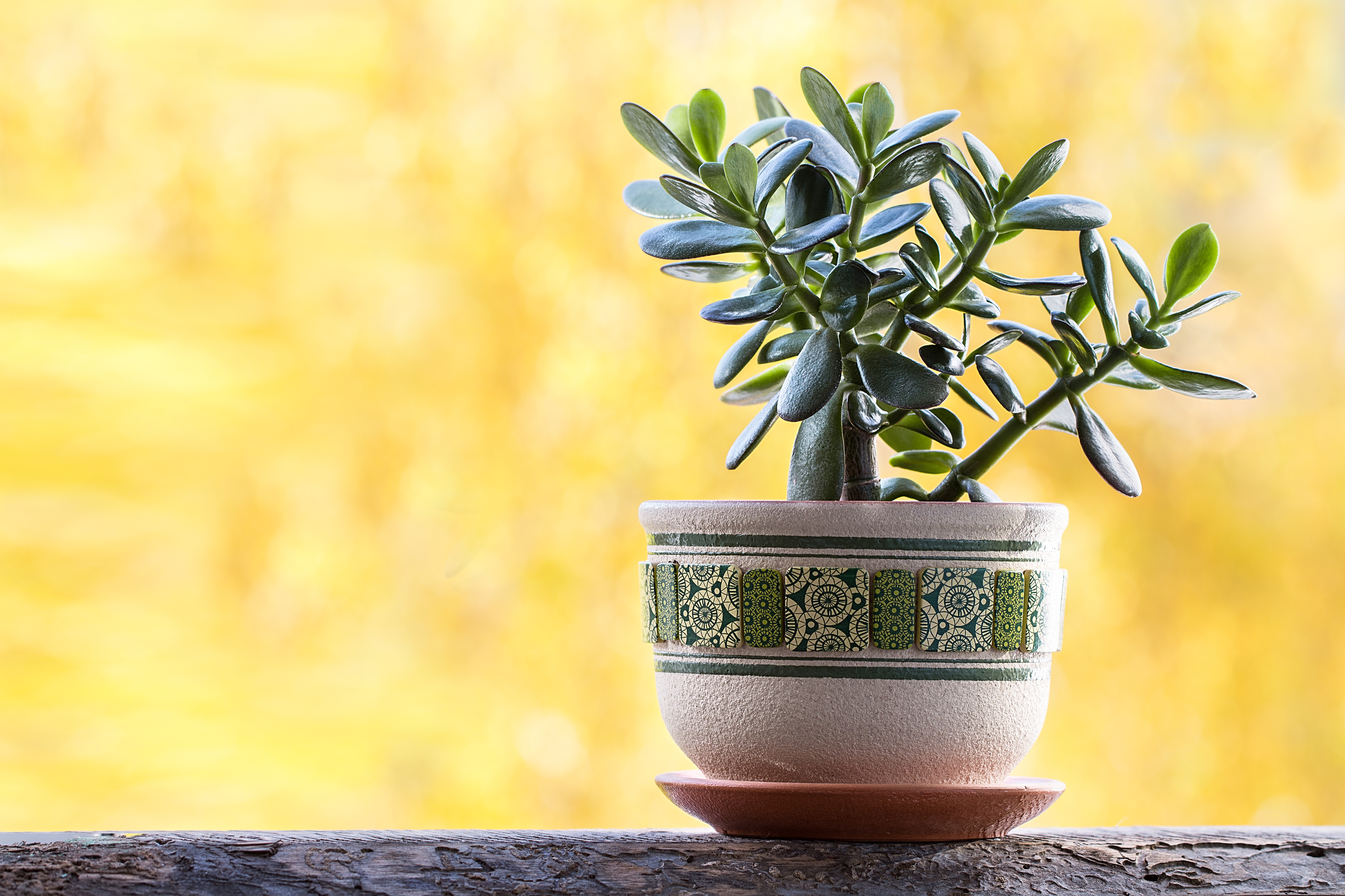 Clay pot of Crassular Ovata ,Green Jade Succulent Plants , Lucky plant or Money Tree on yellow background