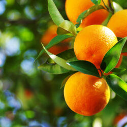FAQs and Answers About Growing Citrus Trees