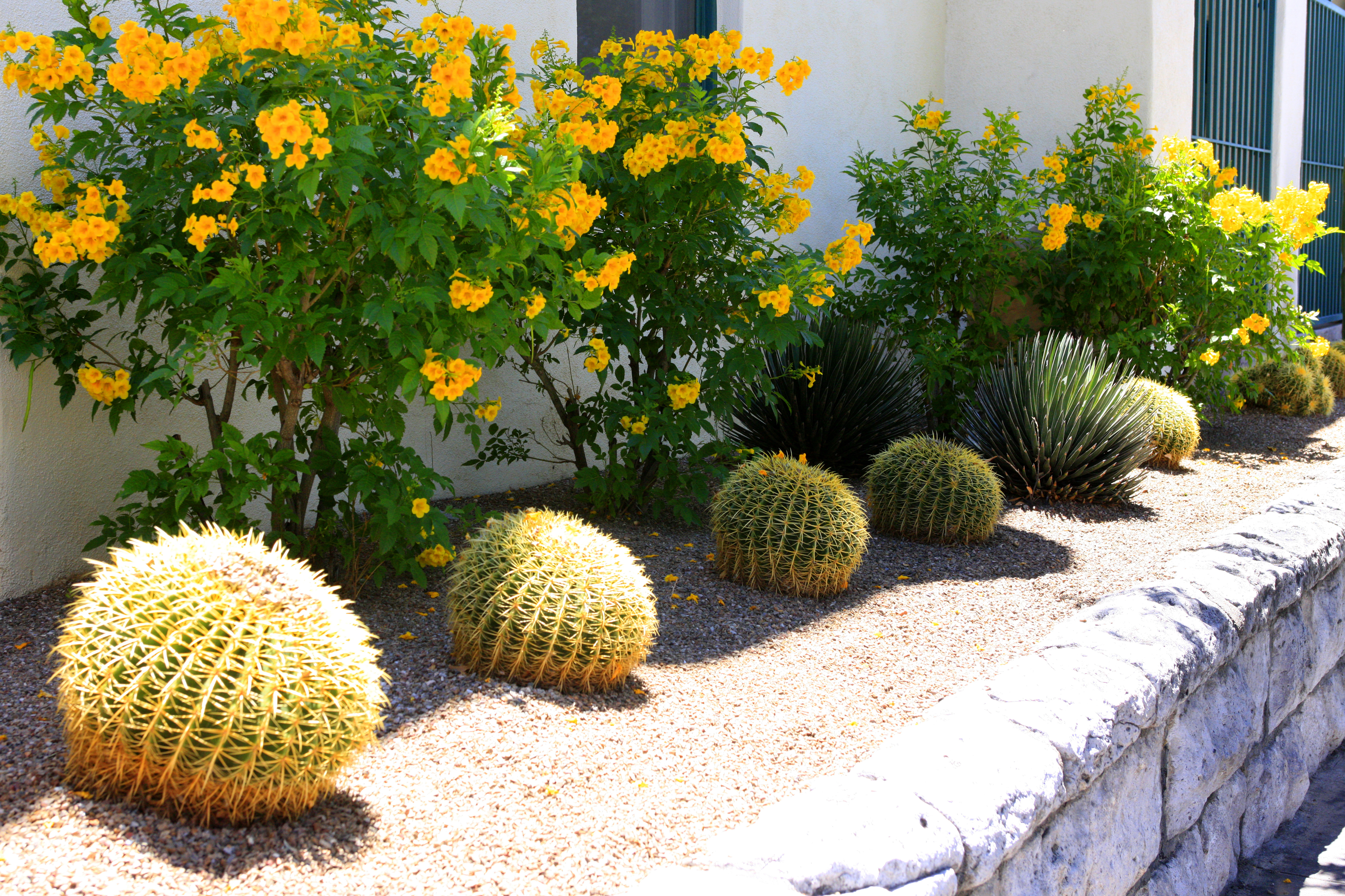 Barrel Cacti and other strubs along the outside wall of the Pueblo Hotel in downtown Tucson AZ