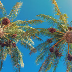 How to Germinate a Date Palm
