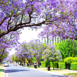 Spotlight on the Jacaranda Tree