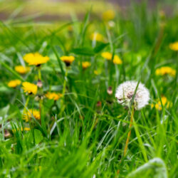 Common Types of Weeds That Grow in Lawns