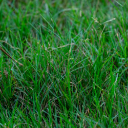 Picking the Perfect Grass for Arizona Lawns