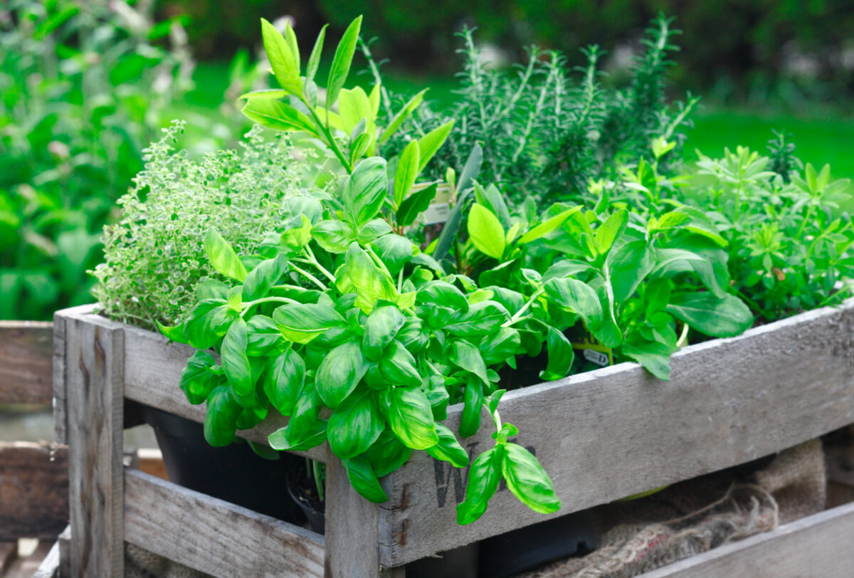 Fresh basil growing in a crate amongst a variety of other organic herbs for use as an ingredient in home cooking