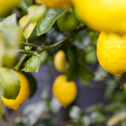 Your Guide to Meyer Lemon Trees