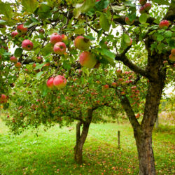 Tips for Growing Fruit Trees in Tucson