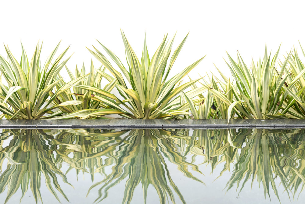 Green agave decorative plant beside of water pond on white background