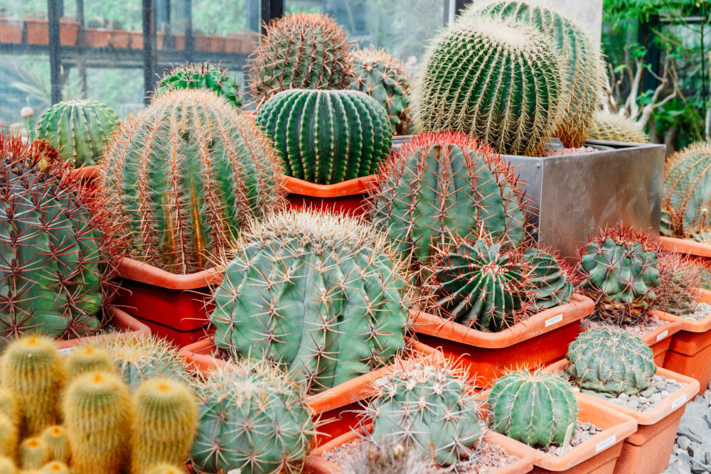Different kinds of cacti in a greenhouse.