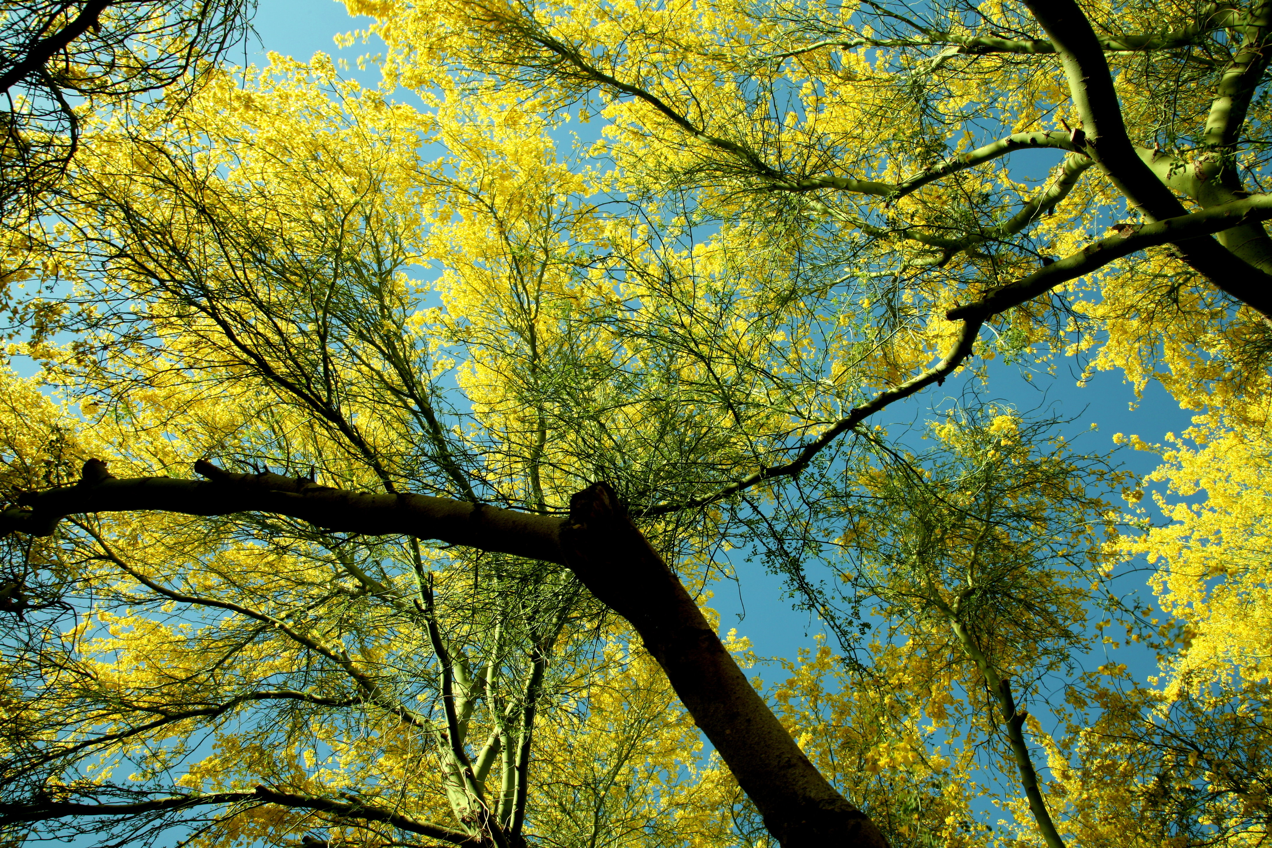 Paloverde tree in bloom useful for background
